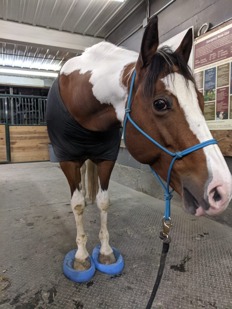 white and brown paint horse standing on blue balance pads